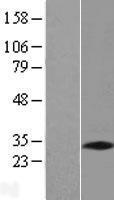NBL1-14552 - PNO1 Lysate