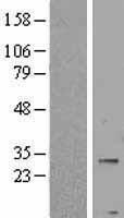 NBL1-14556 - PNPLA4 Lysate