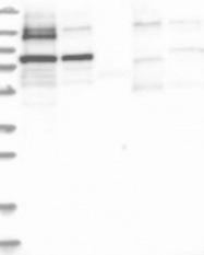 NBP1-82485 - PNPT1