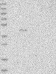 NBP1-90837 - PROL2 / PNRC1