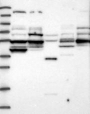 NBP1-86772 - POC5