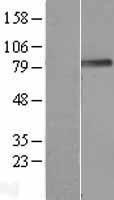 NBL1-14560 - PODN Lysate
