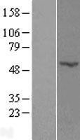 NBL1-14565 - POFUT2 Lysate