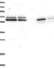 NBP1-83056 - POLD3