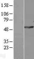 NBL1-14572 - POLG2 Lysate