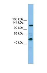 NBP1-53191 - POLR1B