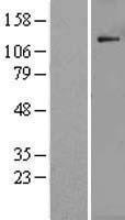 NBL1-14574 - POLR1B Lysate