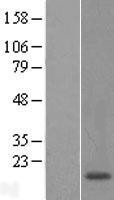 NBL1-14576 - POLR1D Lysate