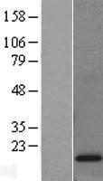 NBL1-14581 - POLR2D Lysate