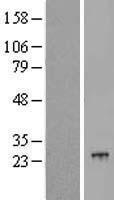 NBL1-14584 - POLR2G Lysate