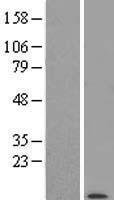 NBL1-14587 - POLR2K Lysate