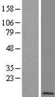 NBL1-14588 - POLR2L Lysate