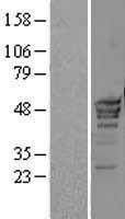NBL1-14592 - POLR3D Lysate
