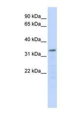 NBP1-52916 - POLR3F