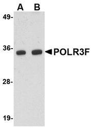 NBP1-76929 - POLR3F