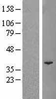 NBL1-14593 - POLR3F Lysate