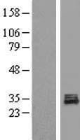 NBL1-14594 - POLR3GL Lysate