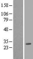 NBL1-14595 - POLR3H Lysate