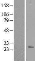 NBL1-14596 - POLR3H Lysate