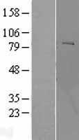 NBL1-14602 - POMT2 Lysate