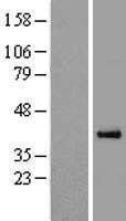 NBL1-14606 - PON3 Lysate
