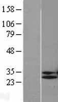 NBL1-14607 - POP4 Lysate