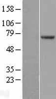 NBL1-14614 - POT1 Lysate