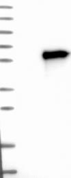 NBP1-83966 - POU2F3