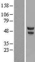 NBL1-14618 - POU2F3 Lysate