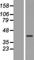 NBL1-14621 - POU5F2 Lysate
