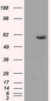 NBP1-47927 - PPP5C