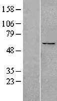 NBL1-14624 - PPAN Lysate