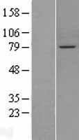 NBL1-14641 - PPEF1 Lysate