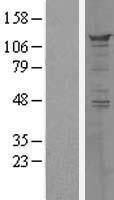 NBL1-14642 - PPFIBP1 Lysate