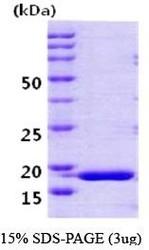 NBC1-18434 - Cyclophilin H / PPIH