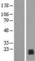 NBL1-14651 - PPIL1 Lysate