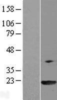 NBL1-14653 - PPIL3 Lysate