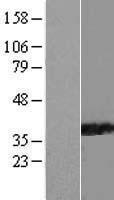 NBL1-14655 - PPIL6 Lysate