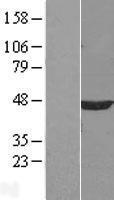 NBL1-14656 - PPM1A Lysate
