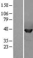 NBL1-14668 - PPME1 Lysate
