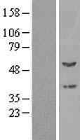 NBL1-14669 - PPOX Lysate
