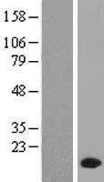 NBL1-14681 - PPP1R1C Lysate