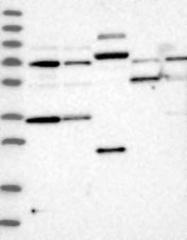 NBP1-87236 - PPP1R3C / PTG