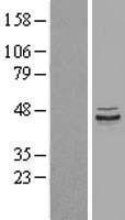 NBL1-14685 - PPP1R7 Lysate