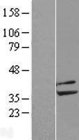 NBL1-14691 - PPP2CB Lysate