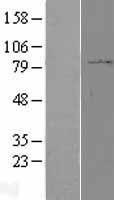 NBL1-14693 - PPP2R1B Lysate