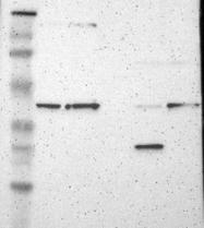 NBP1-87232 - PPP2R4 / PTPA
