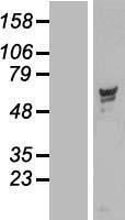 NBL1-14703 - PPP2R5D Lysate