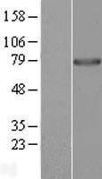 NBL1-14715 - PPWD1 Lysate