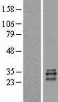 NBL1-14851 - PR3 Lysate